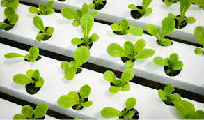 Farm To Table: With Hydroponic Farming